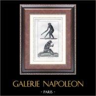 Scimmia - Gibbono - Nasica - Mammiferi  - Primati - Arboricolo | Incisione su acciaio originale disegnata da Prêtre, incisa da Massard. 1830