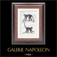 Scimmia - Cercopiteco mona - Cercopithecidae - Coaita - Sapajou - Mammiferi  - Primati | Incisione su acciaio originale disegnata da Prêtre, incisa da David. 1830