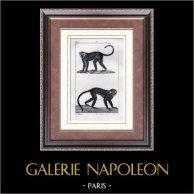 Singe - Malbrouck -  Moustae - Mammifères - Primates | Gravure sur acier originale dessinée par Prêtre, gravée par Coignet. 1830