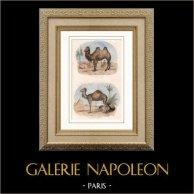 Mammifères - Chameau - Dromadaire - Camelidés | Gravure sur acier originale dessinée par Adam, gravée par Giroux. Aquarellée à la main. 1835