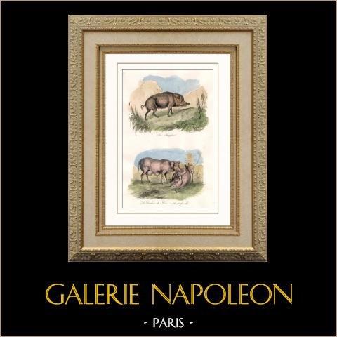 Mammifères - Sanglier - Cochon de Siam - Cochon | Gravure sur acier originale dessinée par Adam, gravée par Beaupré. Aquarellée à la main. 1835