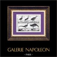 Pheasant-tailed Jacana - Purple Swamphen - Favorite de Cayenne - Petite Poule sultane | Original copper engraving. Bénard direxit. Watermarked paper. 1788
