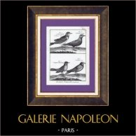 Skylark - Alouette de Gingi - Alouette de Pennsylvanie - Alouette noire - Bird