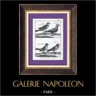 Allodola - Alouette de Gingi - Alouette de Pennsylvanie - Alouette noire - Uccello