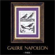 Skylark - Black Redstart - Passerines - Bird