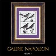 Oiseaux - Sylvia borin - La Fauvette des jardins - Alouette - Alouette des champs - Becfigue - Oiseau