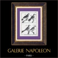 Birds - Northern Wheatear - Fiste de Provence - Blackcap - Passerines