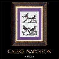 Birds - Figuier - Garden Warbler - Passerines