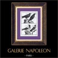 Oiseaux - Corneille mantelée - Corbeau - Corvidae | Gravure sur cuivre originale. Bénard direxit. Papier filigrané. 1788