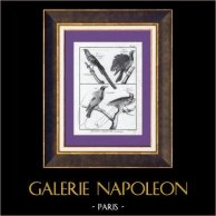 Birds - Birds of paradise - Glossy-mantled Manucode - Cravate dorée - Le Superbe - Le Magnifique
