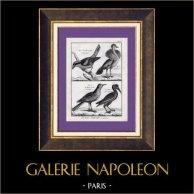 Oiseaux - Pie-grièche - Houbara - Huppe - Corbeau - Corvus - Corvidés | Gravure sur cuivre originale. Bénard direxit. Papier filigrané. 1788