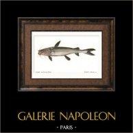Fish - Bagre Machoiran Blanc - Bagrus Albicans