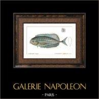 Fish - Astroderme Elegant - Astrodermus Coryphenoides