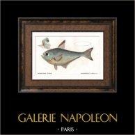 Fish - Pempheride d'Otaïti - Pempheris Taïtensis