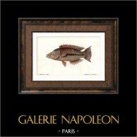 Fish - Chéiline Sablée - Cheilinus Arenatus