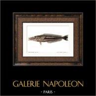 Poisson - Malacanthe Large Raie - Malacanthus Toeniatus
