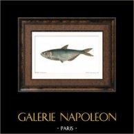 Fish - Pellone de Dussumier - Pellona Dussumieri
