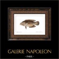 Fish - Chéiline Ponctuée - Cheilinus Punctulatus