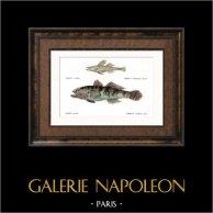 Fish - Gobie Coulon et Bordé - Gobius Colonianus Limbatus