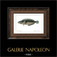 Fish - Malaptère Reticulé - Malapterus Reticulatus