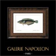 Fisch - Malaptère Reticulé - Malapterus Reticulatus