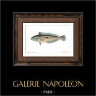 Fish - Girelle - Julius Vulgaris
