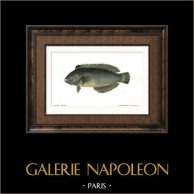 Fish - Rason Téniure - Xyrichthys Toeniurus