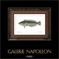 Fish - Girelle Giofredi - Julius Giofredi