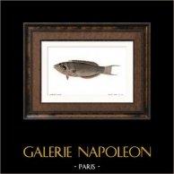 Fish - Girelle Paon - Julius Pavo