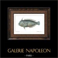 Fish - Rason Paon - Xyrichthys Pavo