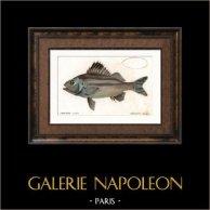 Fish - Therapon Esclave - Therapon Theraps