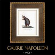 Däggdjur - Pungdjur - Kängurudjur - Halmaturus elegans - Macropus laniger | Original stålstick. Anonymt. Akvarell handkolorerad. 1840