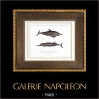 Wassersäugetiere - Delfine - Wale - Delphinus coronatus - Frémonville - Delphinus Boryi - Desmarest | Original stahlstich. Anonyme. Handaquarelliert. 1840
