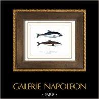 Mamíferos acuáticos - Delfínido - Cetáceos - Delfinus superciliosus - Delfinus cruciger - Quoy and Gaimard