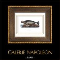 Marine mammal - Earless seal - Carnivore - Sea ice - Phocidae - Phoca Chorisii - Lesson