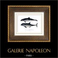 Marine mammal - Cetacea - Harbour porpoise - Phocoena phocoena - Phocoenidae - Delphinus compressicauda
