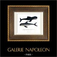 Marine mammals - Cetacea - Delphinidae - Dolphin - Pilot whale - Globicephala