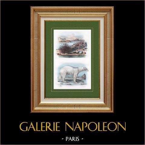 Riccio di mare - Orso Polare - Orso Bianco | Incisione su acciaio originale disegnata da Adolphe Fries. Acquerellata a mano. 1837