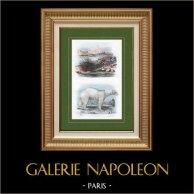 Riccio di mare - Orso Polare - Orso Bianco   Incisione su acciaio originale disegnata da Adolphe Fries. Acquerellata a mano. 1837