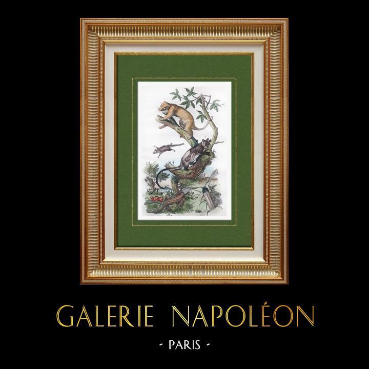Gravures Anciennes & Dessins | Marsupiaux - Phalanger - Insectes - Phaenicocère - Champignon - Pezize | Taille-douce | 1838