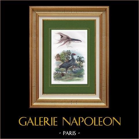 Polipo - Uccello - Pollo Sultano | Incisione su acciaio originale disegnata da Adolphe Fries, incisa da Ducasse. Acquerellata a mano. 1839