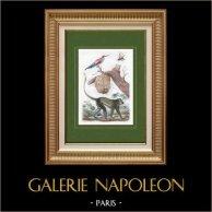 Scimmia - Insetti - Vespinae - Uccello - Gruccione | Incisione su acciaio originale disegnata da Acarie Baron, incisa da Pfitzer. Acquerellata a mano. 1836