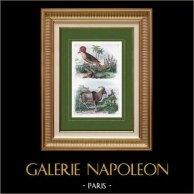 Mouton - Mouflon - Oiseau - Moucherolle Couronné | Gravure sur acier originale dessinée par Adolphe Fries, gravée par Ducasse. Aquarellée à la main. 1837