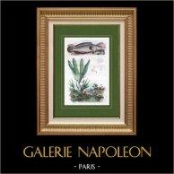 Poisson - Ophicéphale - Plante - Fougères - Plante - Ophioglossum | Gravure sur acier originale dessinée par Adolphe Fries. Aquarellée à la main. 1837