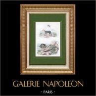 Chacal - Lagartija - Chaleide - Pez - Chaetodon - Insectos - Chaleis | Original acero grabado. Anónimo. Agua-coloreado a mano. 1836