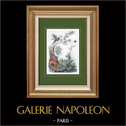 Champignon - Chanterelle - Fleurs - Chardon - Chardonneret - Insectes - Charençon | Gravure sur acier originale. Anonyme. Aquarellée à la main. 1836