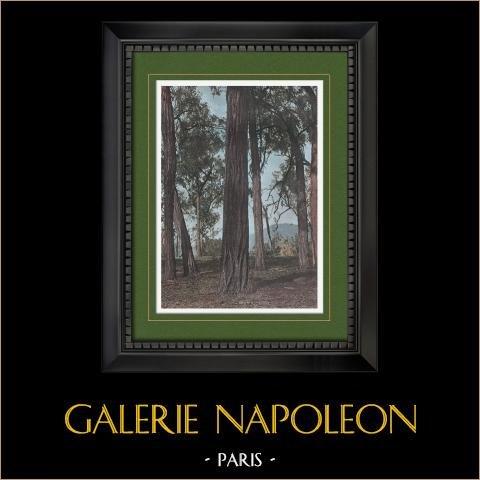 Papua Nuova Guinea - Alberi - Bois de Fer | Stampa fotocromia originale incisa da Gillot. 1890