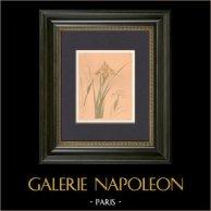 Japansk konst - Dekoration - Blommor - Irissläktet