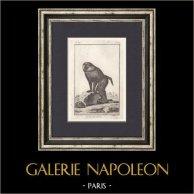 Singe - Grand Papion - Babouin - Mammifères - Primates | Gravure originale en taille-douce sur cuivre gravée par Jourdan. 1801