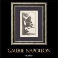 Singe - Malbrouck -  Moustae - Mammifères - Primates | Gravure originale en taille-douce sur cuivre gravée par Racine. 1801
